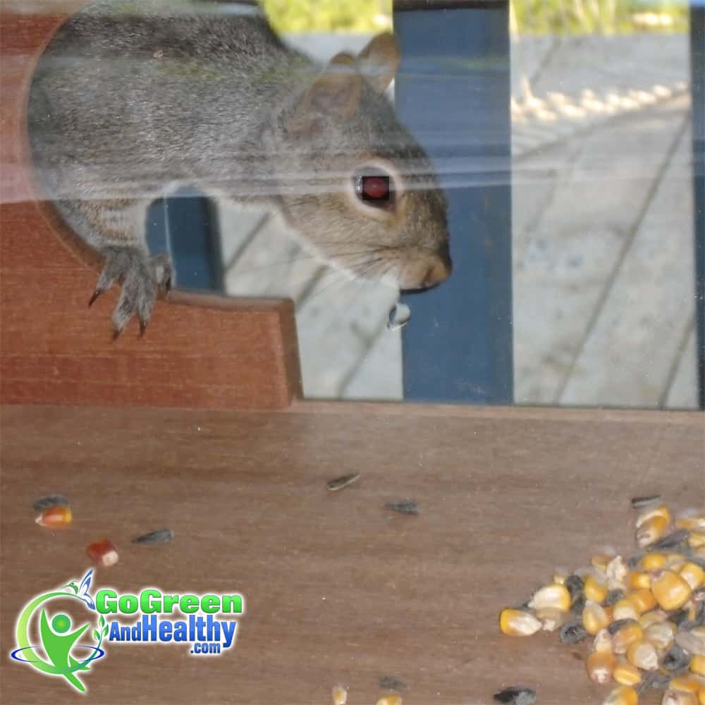 Squirrel Visits Coveside Panoramic In-house Window Bird Feeder
