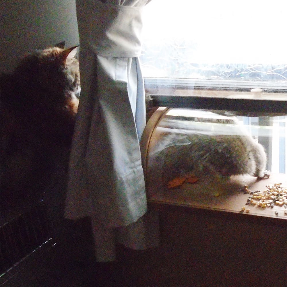 squirrel in feeder and honey the cat watching