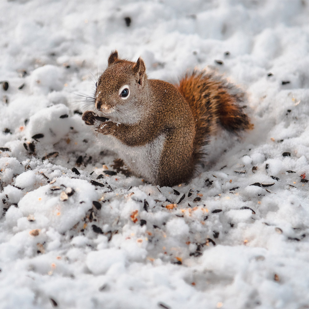 Common Wildlife in Residential Areas -Squirrels Are Most Common