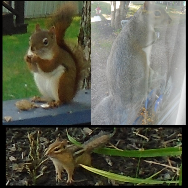 3 fun visitors...a visiting chipmunk and squirrels