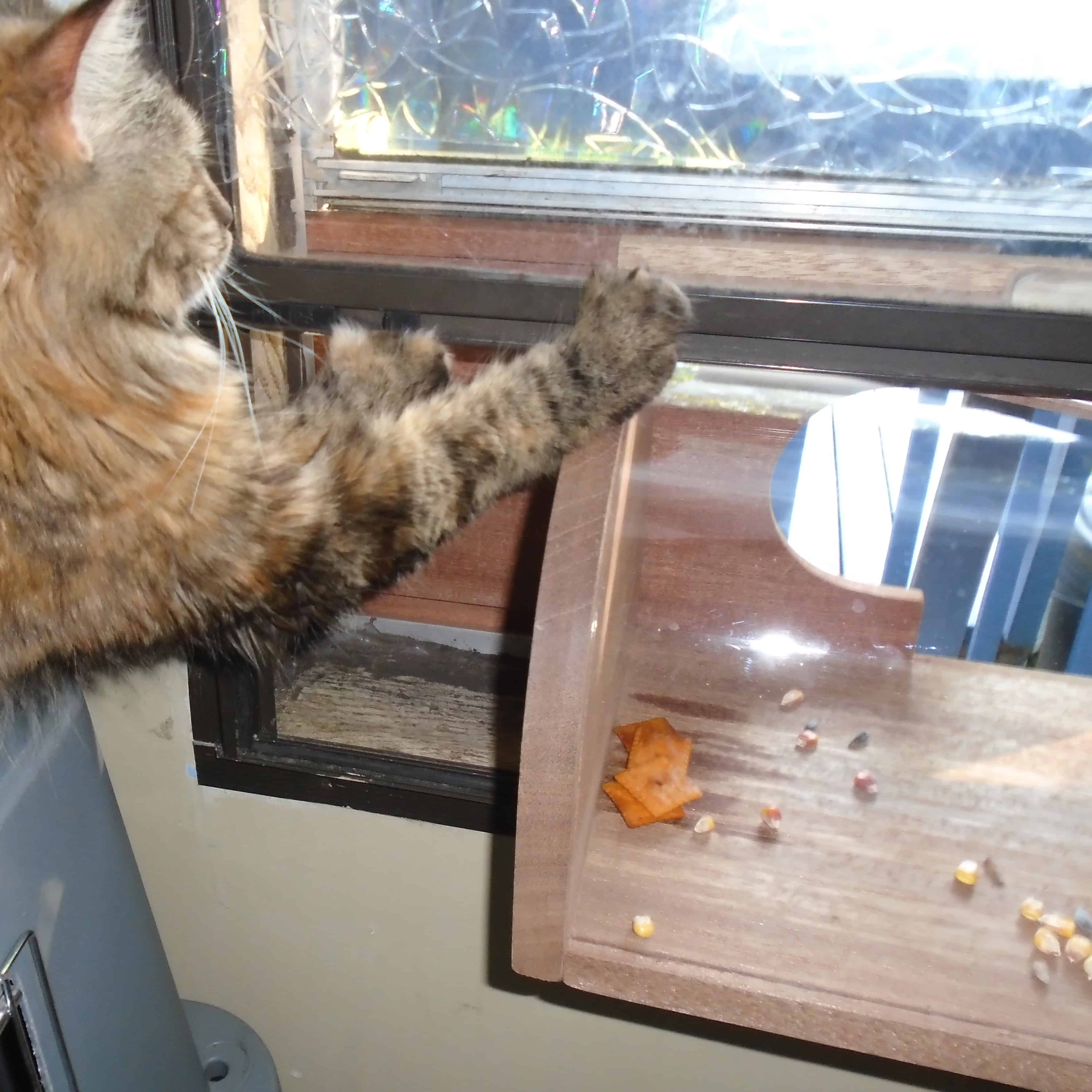 Honey the Cat waiting for Indoor Window Bird Feeder visitor
