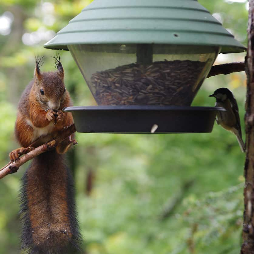 Birds and Squirrels Friends- Wild Birds and Squirrels - Pals Out of Necessity