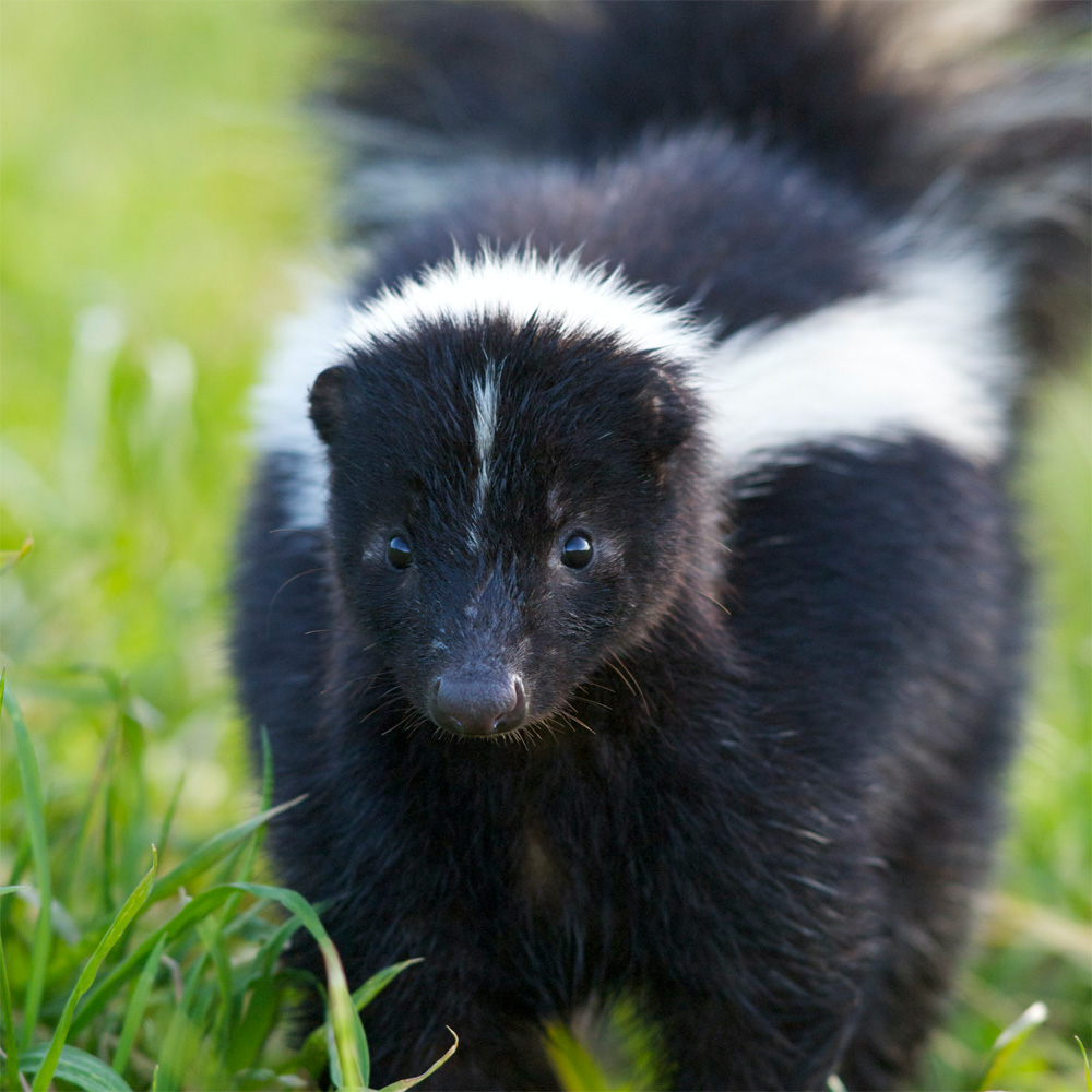 Keep Skunks Away: How to Keep Skunks Out of the Garden